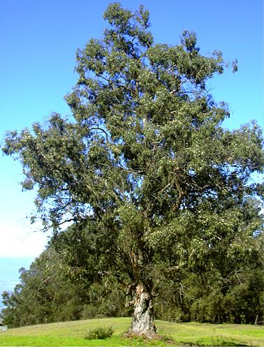 Eucalyptus oil in urdu